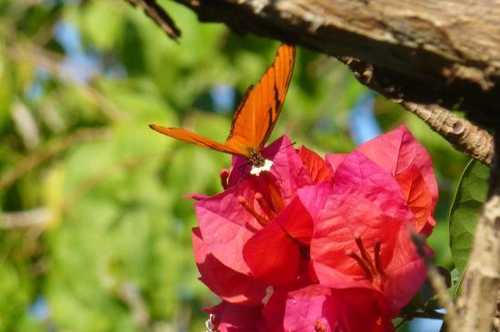 Majahuitas Resort: Butterfly on Bouganvilla