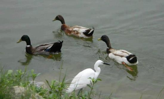Adenz Backwater Home Stay: Ducks
