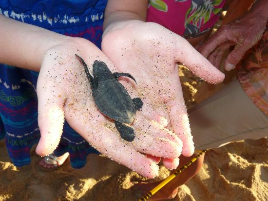 Pueblo Bonito Los Cabos Beach Resort: Releasing of the baby Turtles