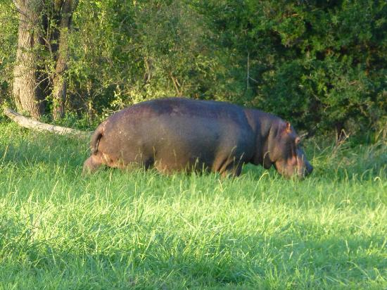 Elephant Plains Game Lodge: Hippo grazing at 6 a.m. close to the lodge