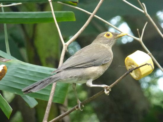 Adventure Eco Villas: I think this is a Spectacled Thrush