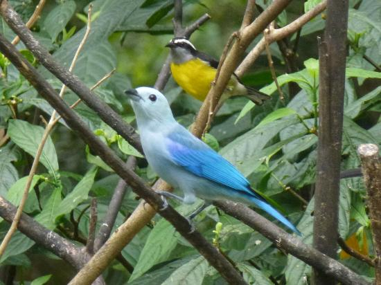 Adventure Eco Villas: The Blue-grey tanager and the Bananaquit