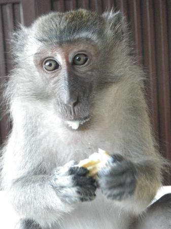 Centara Grand Beach Resort & Villas Krabi: Monkey friends