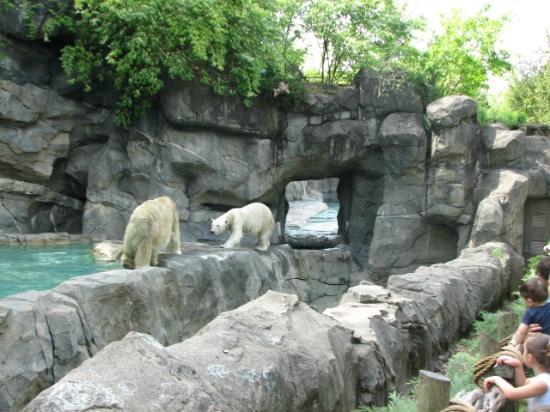 Two White Tigers Cincinnati Zoo Botanical Garden