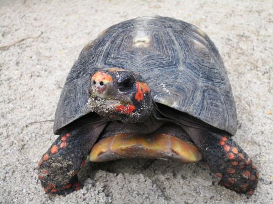 جالي باي ريزورت آند سبا - أنتيجوا: resident red footed tortoise