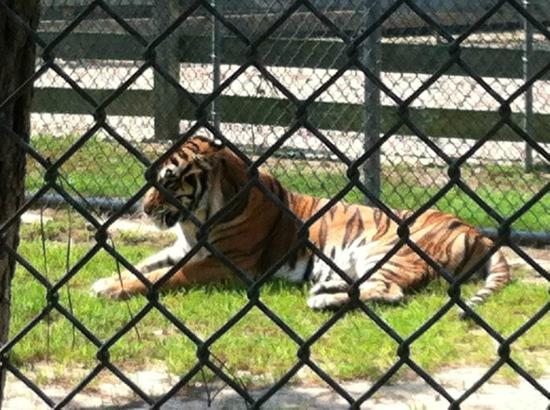 Popcorn Park Zoo: Tiger