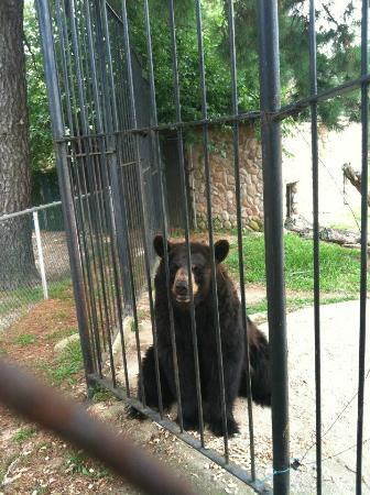 Popcorn Park Zoo: Bear was very active with its visitors and loved peanuts