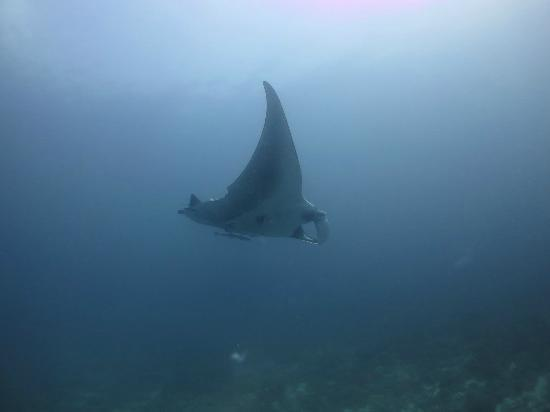 Tropical Diving: Nosy Be Manta 5m