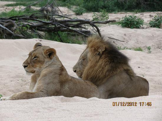 Dulini River Lodge: Mating pair of Lions