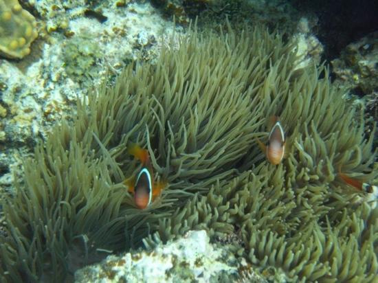 Black Pearl Charters: anemonefish, aituaki, Black Pearl