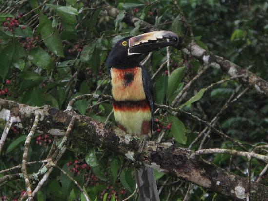 Chachagua Rainforest Eco Lodge: Toucan at our window! Poor guy would fly into the mirrored glass..