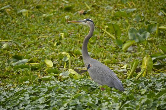 Blue Heron River Tours: A Great Blue Heron