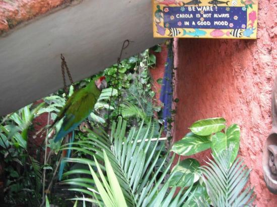 Aura del Mar Hotel: Resident Parrot - Corola