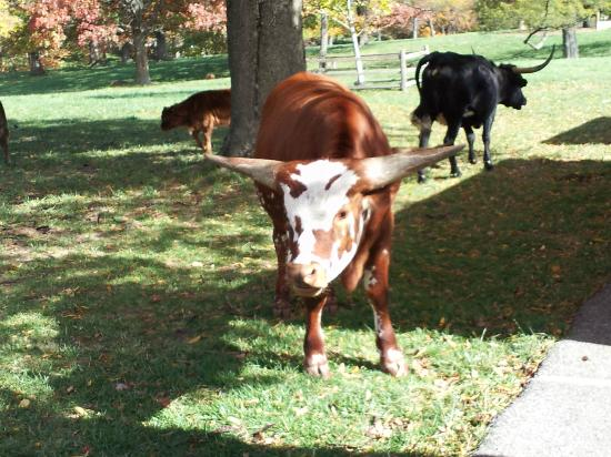 Grant's Farm: Longhorn!