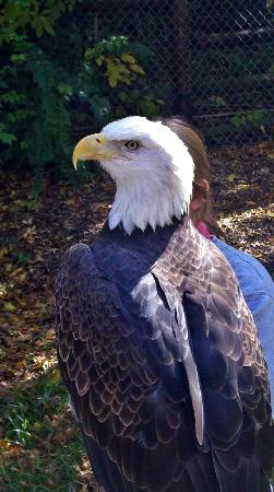Grant's Farm: Bald eagle with handler