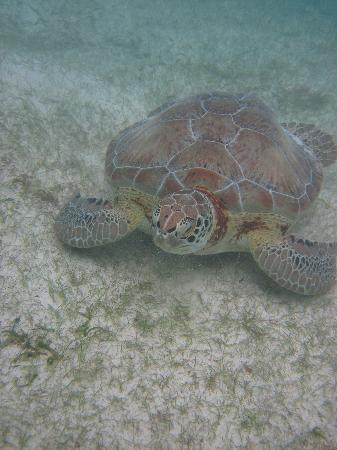 Hotel Akumal Caribe: LOTs of these guys all day long, best times is early AM before wind comes up, and the tourist ge