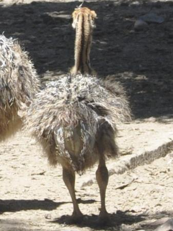 Cango Ostrich and Butterfly farm: Baby ostrich