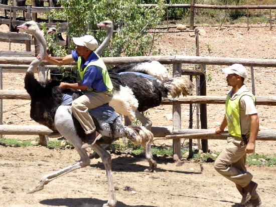 Cango Ostrich and Butterfly farm: A demo of riding ostriches.  You can't do it for long as they overheat