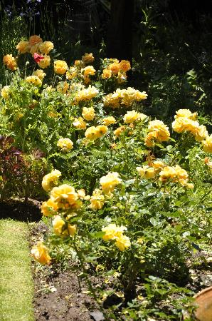 Aasvoelkrans Bed and Breakfast: Roses in the garden