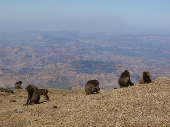 Simien Mountains National Park: Gelada baboons