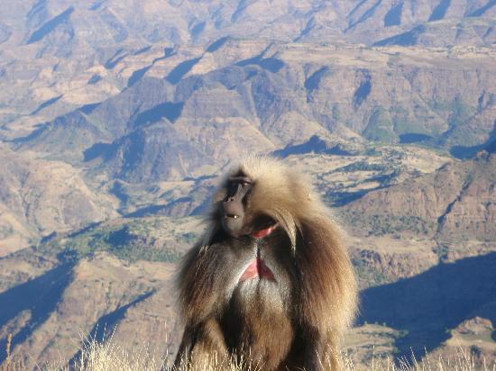 Simien Mountains National Park: Gelada baboon