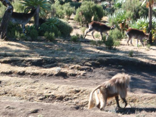 Simien Mountains National Park: Walia Ibex and Gelada Baboon