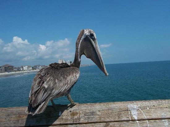 Kingfisher Inn: This was a visitor at the garden city pier right outside of the king fisher