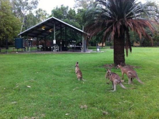 Takarakka Bush Resort & Caravan Park: Dining with Kangaroos