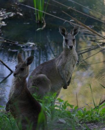 Takarakka Bush Resort & Caravan Park: The Kangaroos