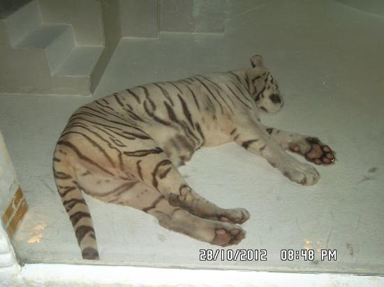 Phuket FantaSea: White tiger sleeping (after a full meal?) in the park