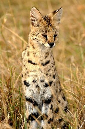 ‪‪Ngorongoro Conservation Area‬, تنزانيا: Rare Cervel Cat‬