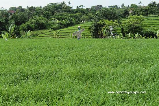 eHomestay Wood Hut Canggu : green belt of rice paddy fields on the way