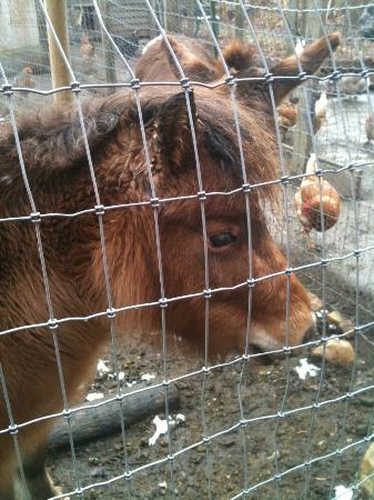 Staveleigh House Bed & Breakfast: Clementine, one of the lovely Shetland ponies on the property.
