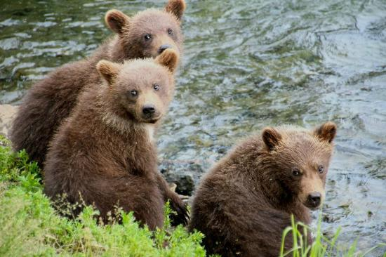 Brooks Camp: spring cubs!