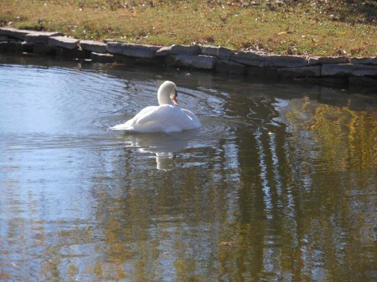 Clark Gardens Botanical Park: The Huge Swan on the Lake
