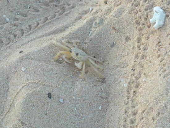 Club Amigo Costasur: Crab buddy!