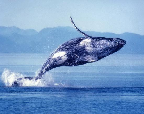 Captain Dan McSweeney's Whale Watching Adventures : Humpback Whale Breaches the Water