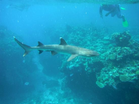 Wayalailai Ecohaven Resort: shark snorkelling 20 minutes by boat from the resort