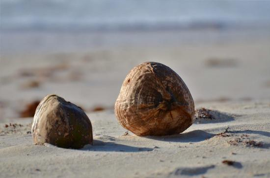Hope Town Harbour Lodge: Coconuts on beach