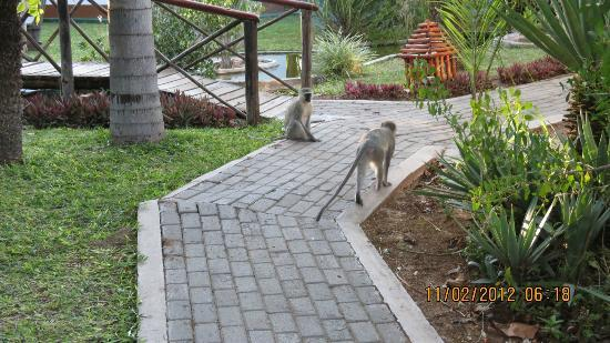 Tremisana Game Lodge: Monkees on the grounds