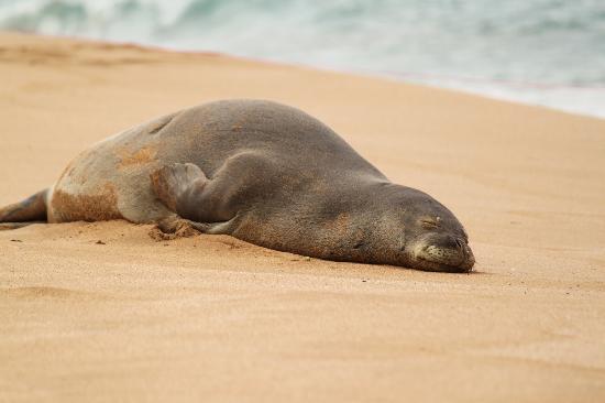 Kahekili Beach: Hawaiian Monk Seal on the beach