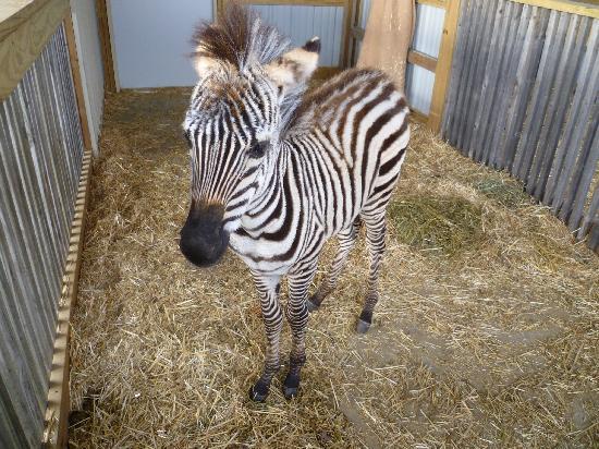 Timbavati Wildlife Park: Baby Zebra