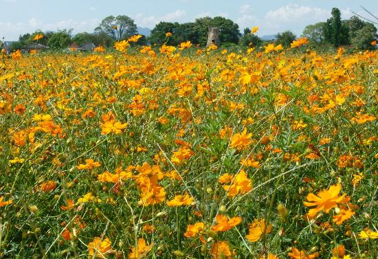 Cheomseongdae Observatory: Cheomseongdae - Spring Flowers