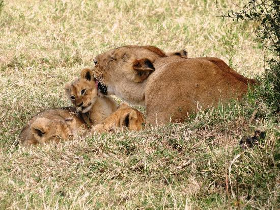Governor's Camp: Lion with cubs