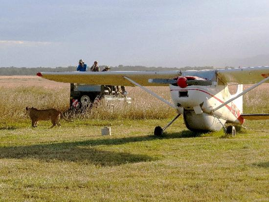 Governor's Camp: Camps airstrip with lion