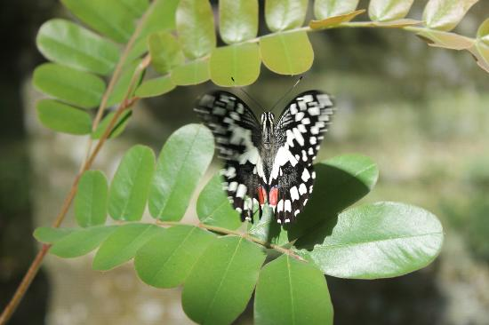 Malagos Garden Resort: busy butterfly