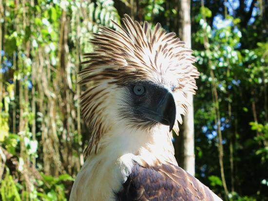 Philippine Eagle Centre: see the crown