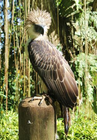 Philippine Eagle Centre: Full view of the mighty philippine eagle