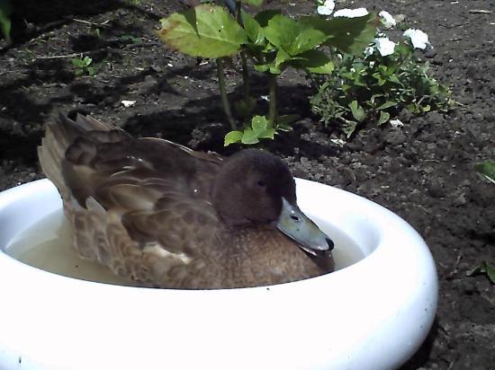 Bertie the Duck enjoying a soak - The Paddocks B&B