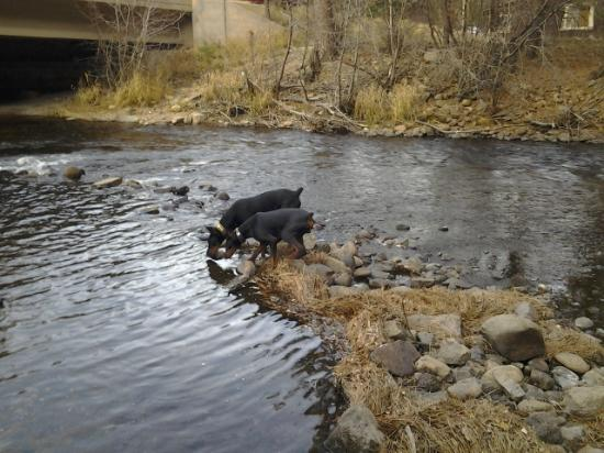 Rustic River Cabins: The dogs had a blast in the creek